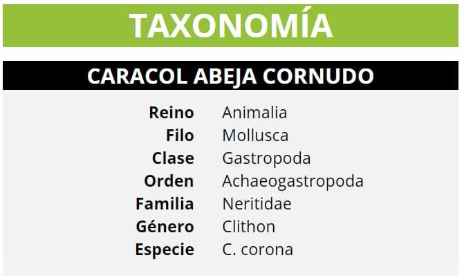 TAXONOMÍA CARACOL ABEJA CORNUDO