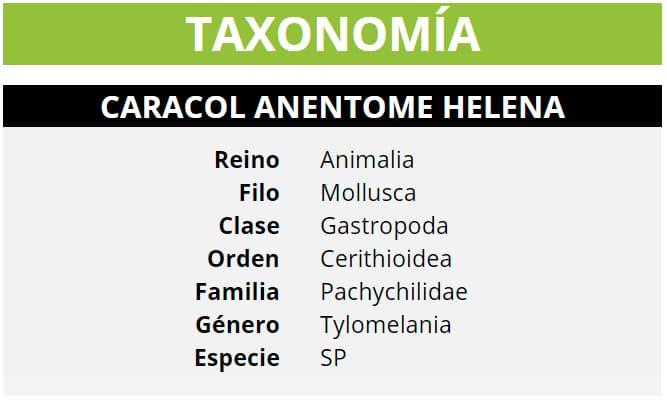 TAXONOMÍA TYLOMELANIA SP