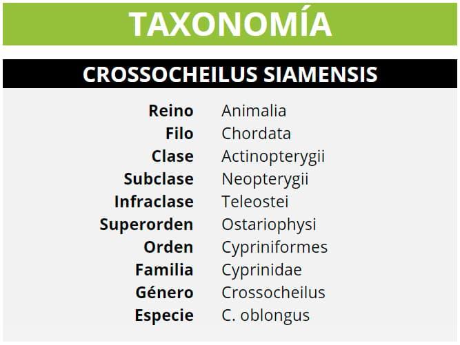 TAXONOMÍA CROSSOCHEILUS SIAMENSIS