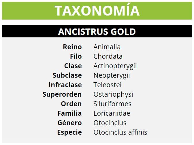 TAXONOMÍA OTOCINCLUS AFFINIS