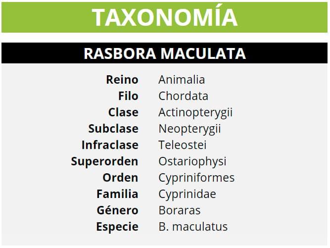 TAXONOMÍA RASBORA MACULATA