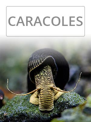 Categoría CARACOLES ACUARIO