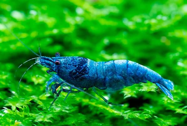CARIDINA BLUE BOLT