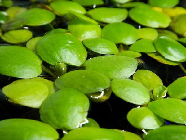 Plantas flotantes: Beneficios y cuidados