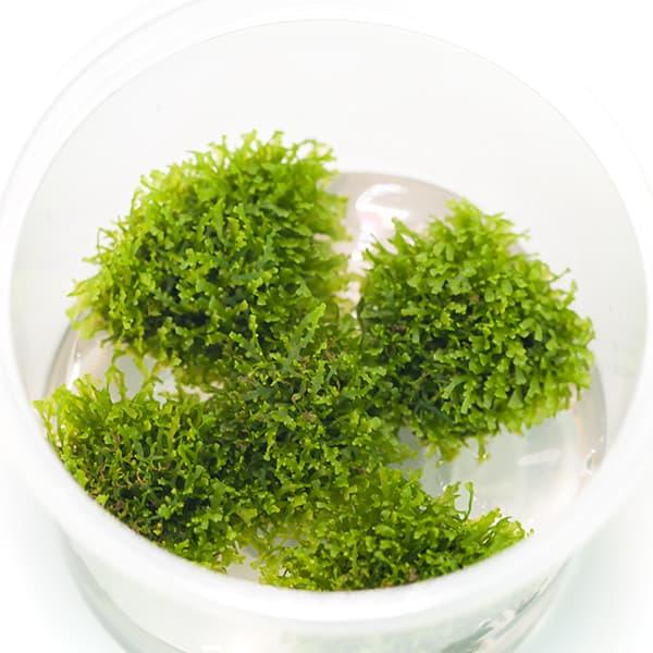 MUSGO PARA ACUARIOS: Riccardia Chamedryfolia