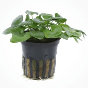 Nymphoides hydrophylla 'Taiwan' comprar en nascapers tienda online