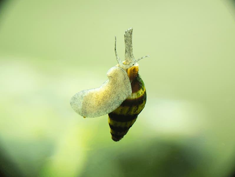 ANENTOME HELENA: El caracol que come caracoles