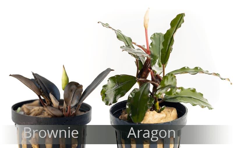 Hay grandes diferencias entre las distintas variedades, como ejemplo bucephalandra brownie y aragon