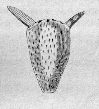 Estambres de una bucephalandra, tienen forma de cabeza de toro con las anteras en forma de cuernos