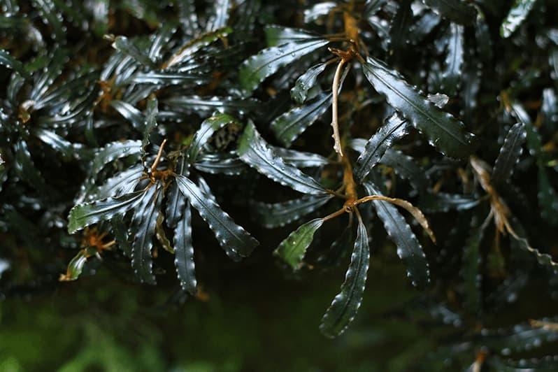 Grupo de bucephalandra cultivadas en emergido en un terrario
