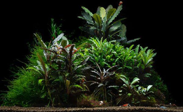 Las mejores Bucephalandra para tu acuario