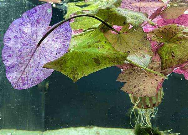 Nymphaea Tiger Lotus Red Zenkeri