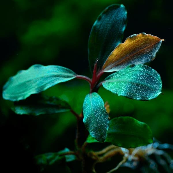 BUCEPHALANDRA BLUE GREEN
