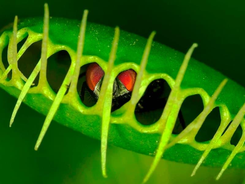 COMPRAR PLANTAS CARNÍVORAS DIONAEA MUSCIPULA: Comiendo una mosca