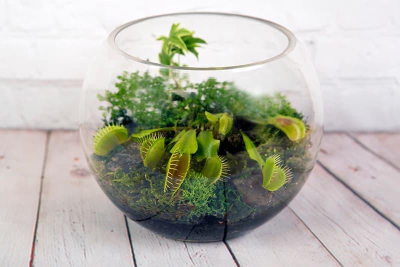 COMPRAR PLANTAS CARNÍVORAS DIONAEA MUSCIPULA en una bola de cristal