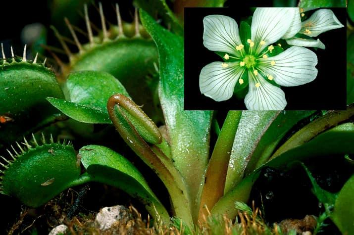 COMPRAR PLANTAS CARNÍVORAS DIONAEA MUSCIPULA con una flor blanca de cinco pétalos