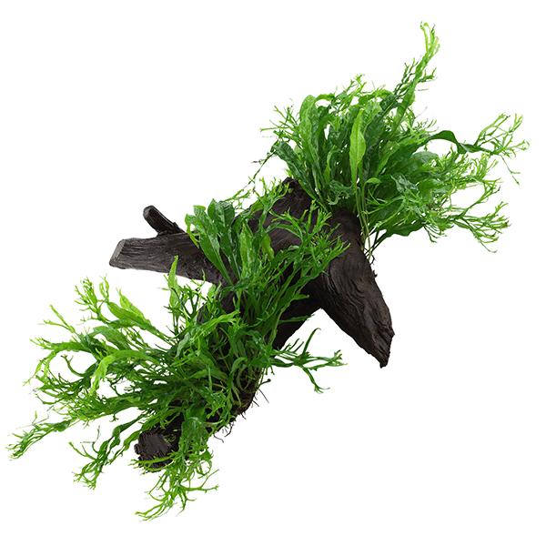 "Microsorum pteropus ""Windelov"" enraizada en tronco de mangle"