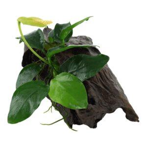 Anubias barteri var. nana enraizada en un tronco de mangrove