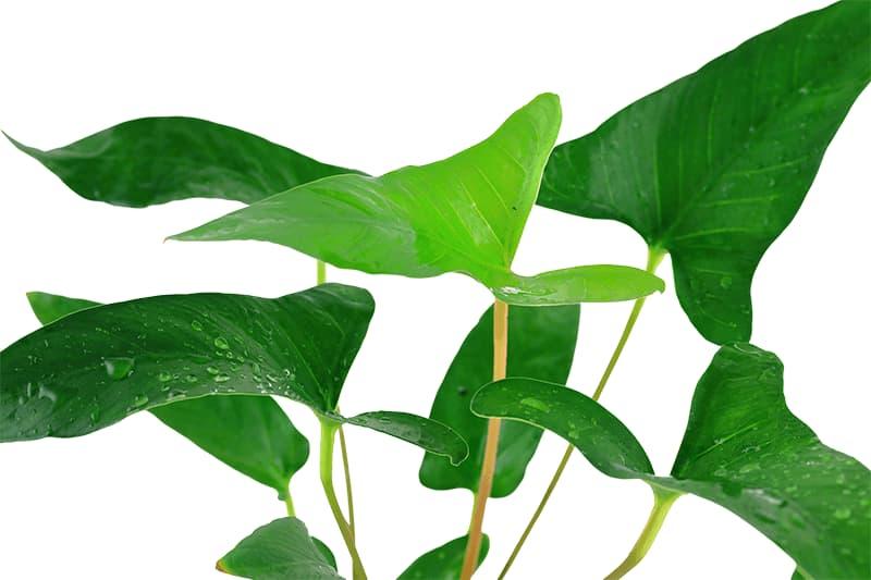 ANUBIAS GRACILIS, detalle de las hojas sobre fondo blanco