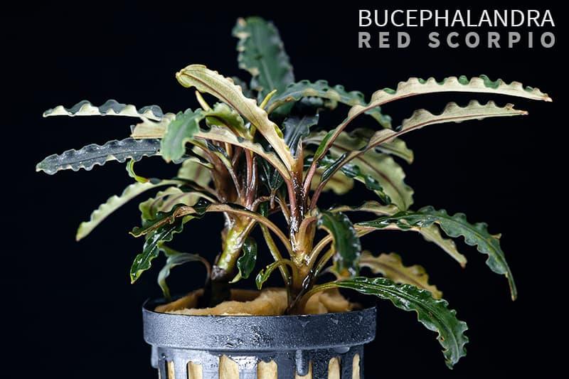 Llamativa bucephalandra RED SCORPIO sobre fondo negro