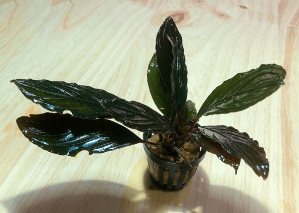 nuevas y llamativas bucephalandra : SKELETON KING