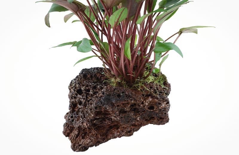 Cryptocoryne beckettii petchii enraizada en roca volcánica roja