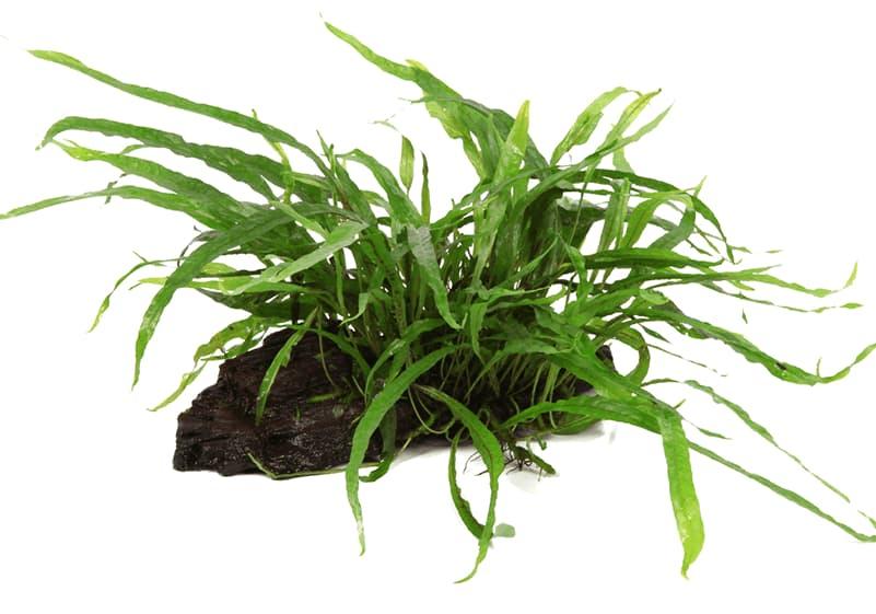 "Microsorum pteropus ""Narrow"" enraizada en tronco de mangle"