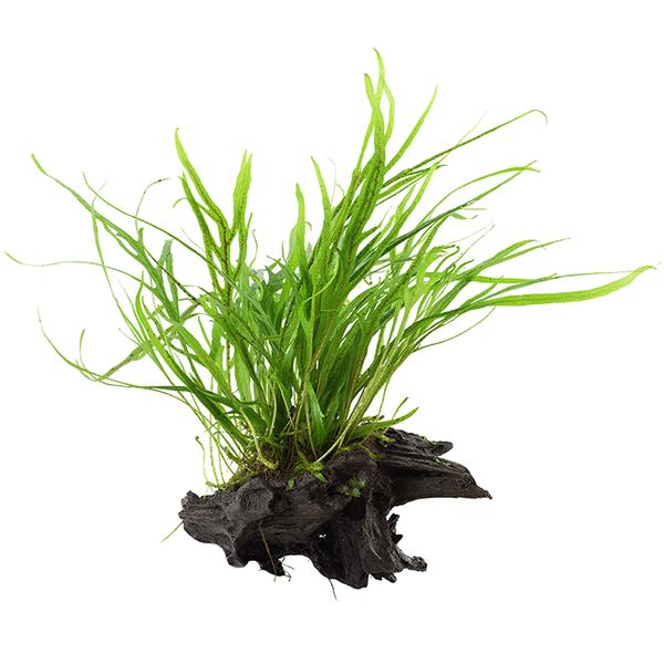 "Microsorum pteropus ""Trident"" enraizada en tronco de mangle"