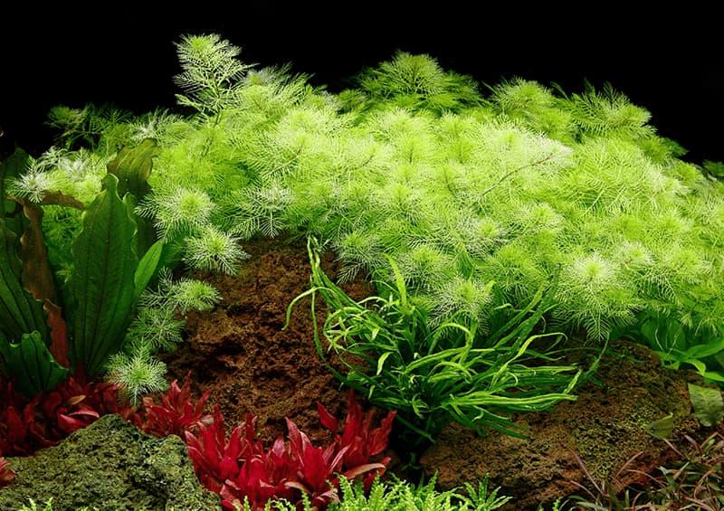 Myriophyllum mattogrossense