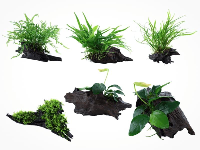 Plantas que ya vienen enraizadas en troncos para acuarios.