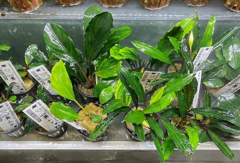 Detalle del plantero de Bucephalandra que tiene NAscapers en su tienda física de Valencia.