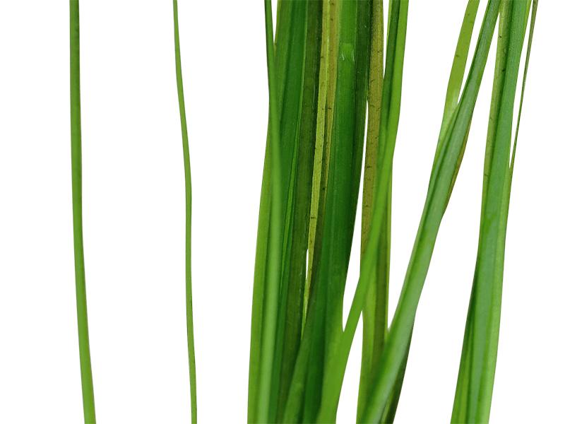 VALLISNERIA NANA, detalle de las hojas