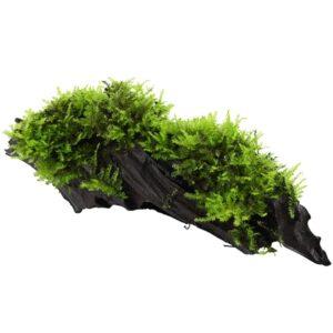 """Vesicularia montagnei """"Christmas"""" enraizado en tronco de mangrove."""
