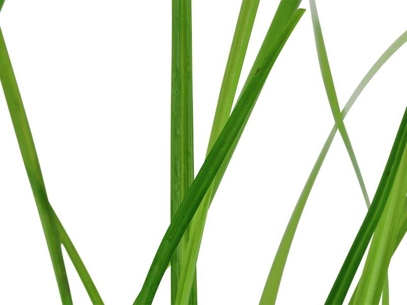 Detalle de las hojas de la planta Cyperus helferi.