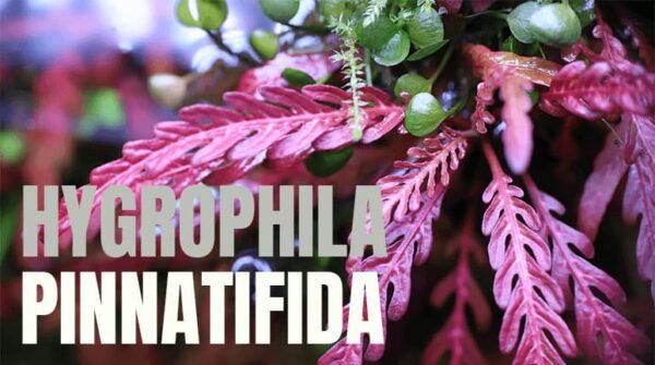 Hygrophila pinnatifica: todo lo que debes saber.