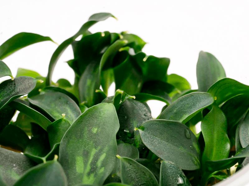 PIPTOSPATHA RIDLEYI, detalle de las hojas en verde claro y verde oscuro