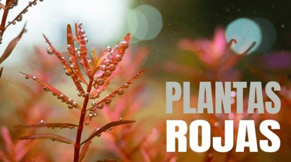 Comprar online las mejores plantas rojas para acuarios.
