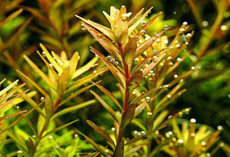 Plantas de tallo, en nascapers somos especialistas en la venta online de plantas acuáticas.