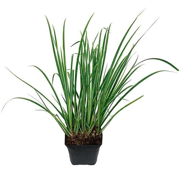 ACORUS GRAMINEUS, planta palustre ideal para acuarios, terrarios y acuaterrarios.