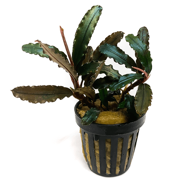 Bucephalandra Gaia Super Red, la puedes comprar online en nascapers.