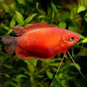 Pez tropical COLISA CHUNA GOLD, también conocida como Trichogaster.