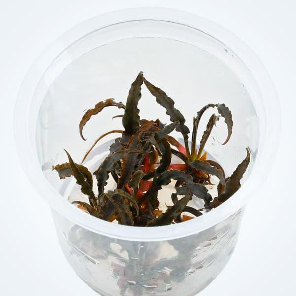 CRYPTOCORYNE SPIRALIS TIGER de venta online en NASCAPERS. Tu tienda de acuariofilia con los mejores precios.