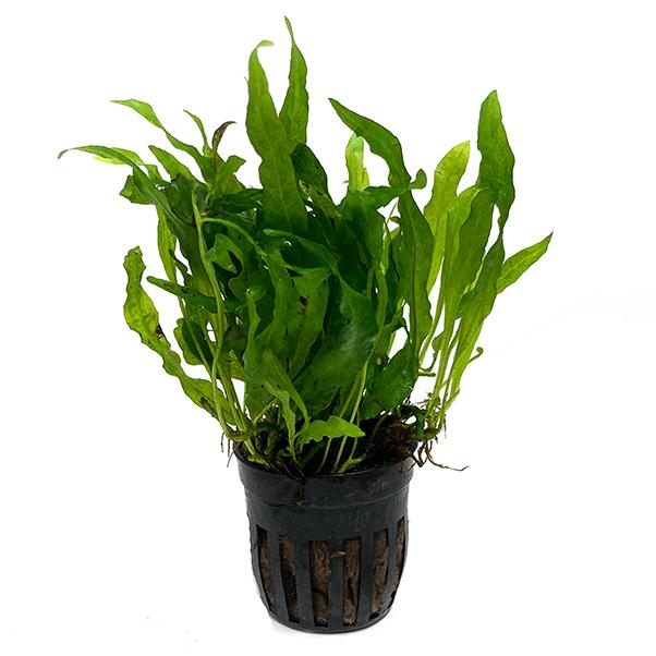 MICROSORUM PTEROPUS FLAMINGO, un helecho fácil de cultivar en acuarios plantados. Lo puedes comprar en nascapers.