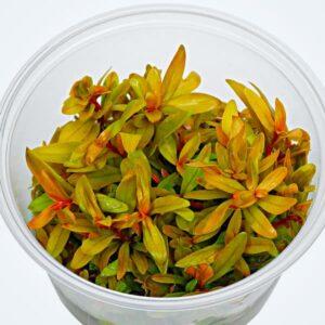 NESAEA GOLD, espectacular planta de tallo de tonos dorados. La puedes comprar online en NASCAPERS al mejor precio.