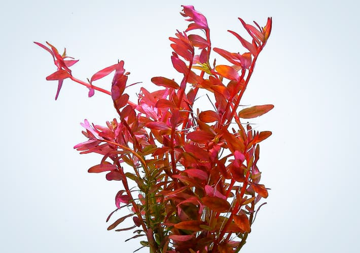 ROTALA BLOOD RED