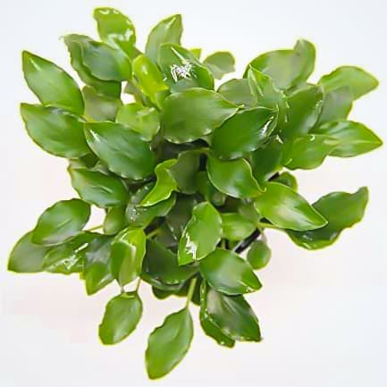 Schismatoglottis prietoi, planta muy similar a las anubias, de venta en tienda online. Las mejores ofertas en NAscapers.