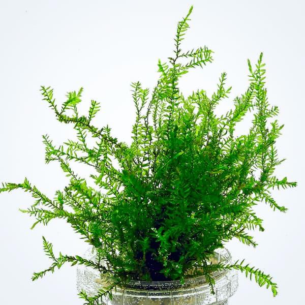 Musgo Willow, Fontinalis Antipyretica en porción, de venta online en NASCAPERS.
