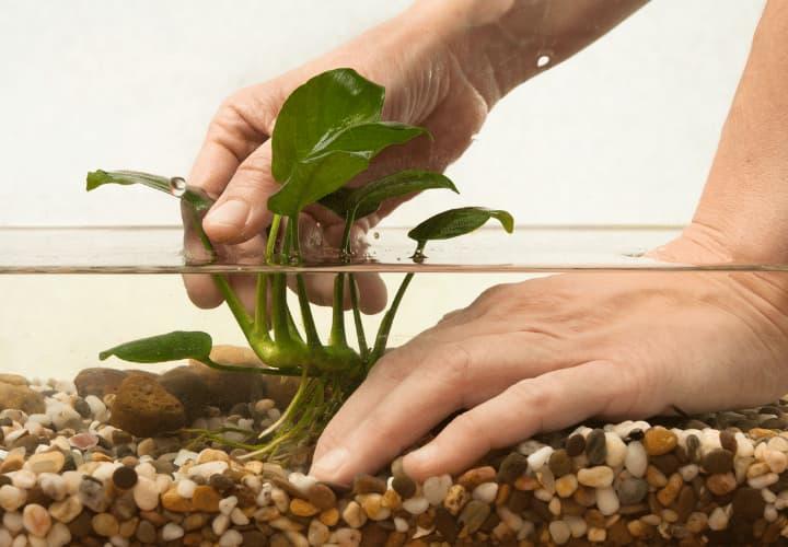 Tipo de planta anubias para acuario