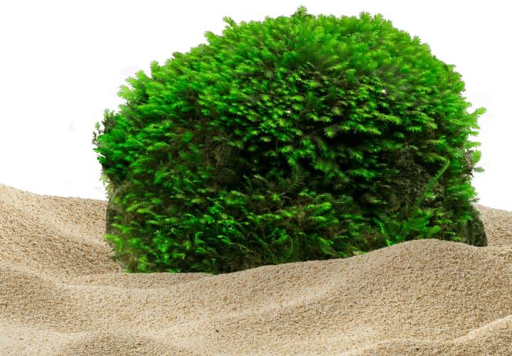 Tipo de planta musgos para acuario