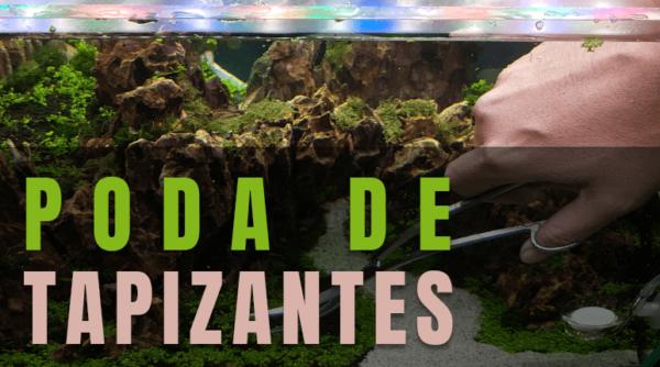 poda plantas tapizantes acuario